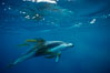 Pacific white sided dolphin, Kelp carry. San Diego, California, USA. Image #00044