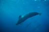 Short fin pilot whale, Sea of Cortez. Image #00104