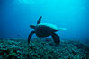 Green sea turtle. Maui, Hawaii, USA. Image #00315