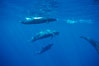 False killer whale, eating fish. Lanai, Hawaii, USA. Image #00561