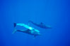 False killer whale, Pacific bottlenose dolphin. Lanai, Hawaii, USA. Image #00563