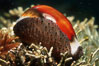 Chestnut cowry, mantle exposed. San Miguel Island, California, USA. Image #00624