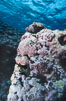 Pink coralline algae. Rose Atoll National Wildlife Sanctuary, American Samoa, USA. Image #00760