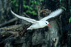 Red tailed tropic bird. Rose Atoll National Wildlife Sanctuary, American Samoa, USA. Image #00849