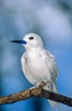A white tern, or fairy tern, alights on a branch at Rose Atoll in American Samoa. Rose Atoll National Wildlife Sanctuary, USA. Image #00871