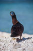 Brown booby. Rose Atoll National Wildlife Sanctuary, American Samoa, USA. Image #00875