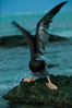 Brown booby. Rose Atoll National Wildlife Sanctuary, American Samoa, USA. Image #00879
