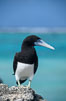 Brown booby. Rose Atoll National Wildlife Sanctuary, American Samoa, USA. Image #00880