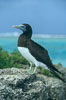 Brown booby. Rose Atoll National Wildlife Sanctuary, American Samoa, USA. Image #00881