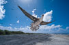 Brown booby. Rose Atoll National Wildlife Sanctuary, American Samoa, USA. Image #00915