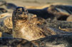 Pacific harbor seals rest while hauled out on a sandy beach.  This group of harbor seals, which has formed a breeding colony at a small but popular beach near San Diego, is at the center of considerable controversy.  While harbor seals are protected from harassment by the Marine Mammal Protection Act and other legislation, local interests would like to see the seals leave so that people can resume using the beach. La Jolla, California, USA. Image #00937