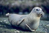 A Pacific harbor seal hauls out on a rock.  This group of harbor seals, which has formed a breeding colony at a small but popular beach near San Diego, is at the center of considerable controversy.  While harbor seals are protected from harassment by the Marine Mammal Protection Act and other legislation, local interests would like to see the seals leave so that people can resume using the beach. La Jolla, California, USA. Image #00940