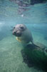Northern elephant seal, San Benito Islands. San Benito Islands (Islas San Benito), Baja California, Mexico. Image #00942