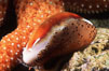Chestnut cowrie with mantle extended. San Miguel Island, California, USA. Image #01035