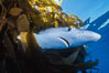 Blue shark underneath drift kelp, open ocean. San Diego, California, USA. Image #01081