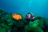 A SCUBA diver swimming over a rocky reef covered with kelp, watches a brightly colored orange garibaldi fish. San Clemente Island, California, USA. Image #01113