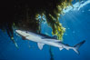 Blue shark underneath offshore drift kelp, open ocean. San Diego, California, USA. Image #01153