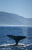 Gray whale. Big Sur, California, USA. Image #01182