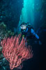 Diver and red gorgonian. San Clemente Island, California, USA. Image #01485