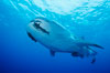 A whale shark swims through the open ocean in the Galapagos Islands.  The whale shark is the largest shark on Earth, but is harmless eating plankton and small fish. Darwin Island, Galapagos Islands, Ecuador. Image #01520