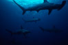 Scalloped hammerhead shark. Galapagos Islands, Ecuador. Image #01529