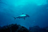 Scalloped hammerhead shark. Galapagos Islands, Ecuador. Image #01531