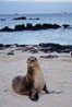 Galapagos sea lion pup, Sullivan Bay. James Island, Galapagos Islands, Ecuador. Image #01658