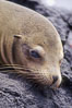 Galapagos sea lion,  South Plaza Island. South Plaza Island, Galapagos Islands, Ecuador. Image #01680