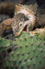 Galapagos land iguana. South Plaza Island, Galapagos Islands, Ecuador. Image #01742