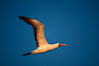 Nazca booby in flight, sunset, Punta Suarez. Hood Island, Galapagos Islands, Ecuador. Image #01765