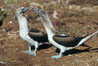 Blue-footed booby, courtship display. North Seymour Island, Galapagos Islands, Ecuador. Image #01794