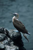 Blue-footed booby,  South Plaza Island. South Plaza Island, Galapagos Islands, Ecuador. Image #01805