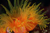 Orange cup coral. Isla Champion, Galapagos Islands, Ecuador. Image #01859