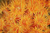 Orange cup coral. Isla Champion, Galapagos Islands, Ecuador. Image #01864