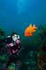 Diver and garibaldi, Catalina. Catalina Island, California, USA. Image #01969