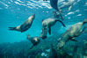 California sea lions swim and socialize over a kelp-covered rocky reef, underwater at San Clemente Island in California's southern Channel Islands. San Clemente Island, California, USA. Image #02031