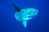 Ocean sunfish, open ocean. San Diego, California, USA. Image #02089