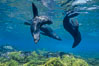 Guadalupe fur seals, floating upside down underwater over a rocky reef covered with golden kelp at Guadalupe Island. Guadalupe Island (Isla Guadalupe), Baja California, Mexico. Image #02113