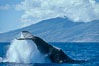 North Pacific humpback whale, peduncle throw. Maui, Hawaii, USA. Image #02153