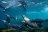 California sea lions swim and socialize over a kelp-covered rocky reef, underwater at San Clemente Island in California's southern Channel Islands. San Clemente Island, California, USA. Image #02158