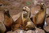 California sea lions, Coronado Islands. Coronado Islands (Islas Coronado), Coronado Islands, Baja California, Mexico. Image #02160