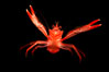 Pelagic red tuna crab, open ocean. San Diego, California, USA. Image #02247