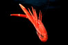 Pelagic red tuna crab, open ocean. San Diego, California, USA. Image #02248