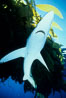 Blue shark searching drift kelp for food, open ocean. San Diego, California, USA. Image #02288