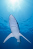 Blue shark, open ocean. San Diego, California, USA. Image #02290