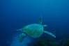 Green sea turtle, Islas San Benito. San Benito Islands (Islas San Benito), Baja California, Mexico. Image #02341