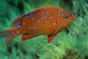 Juvenile garibaldi in motion. Catalina Island, California, USA. Image #02343