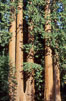 Sequoia trees. Sequoia Kings Canyon National Park, California, USA. Image #02352