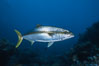 North Pacific Yellowtail. Guadalupe Island (Isla Guadalupe), Baja California, Mexico. Image #02404