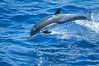 Common dolphin. San Diego, California, USA. Image #02408